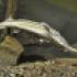 стерлядь раньше была в верховьях Волги обычной рыбой